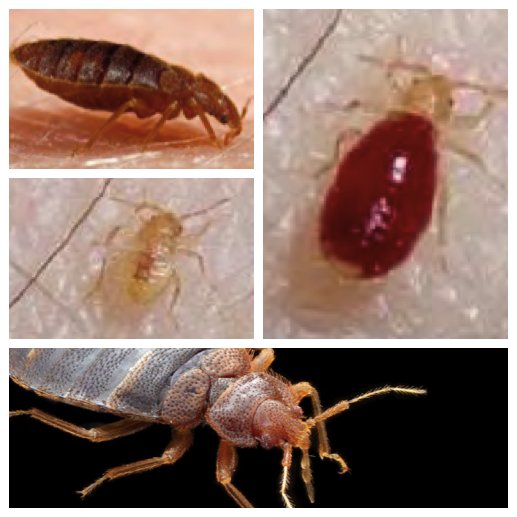 pics of bed bug