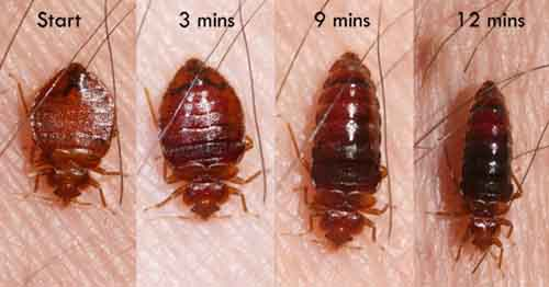 Adult bed bug at different sizes after eating