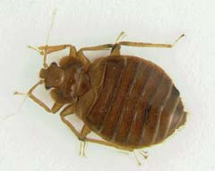 picture of adult bedbug