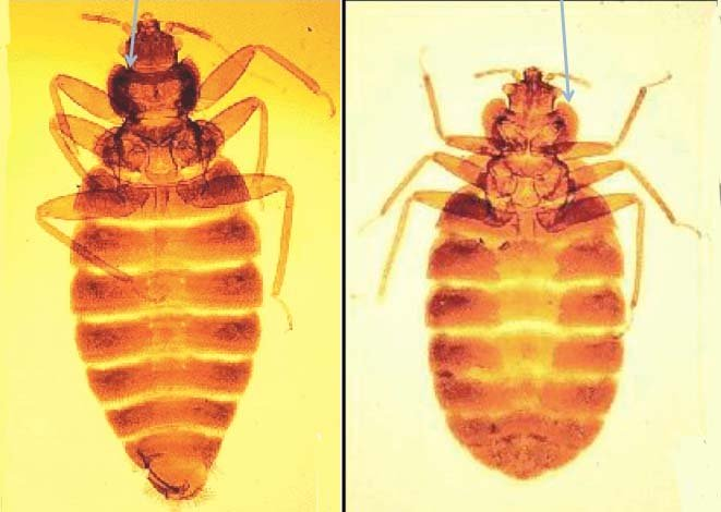 Image of tropical and typical bed bugs